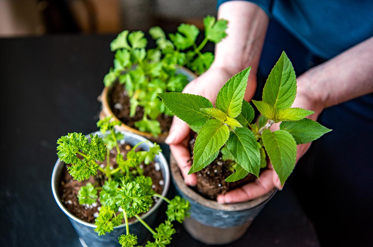 Window Herbs